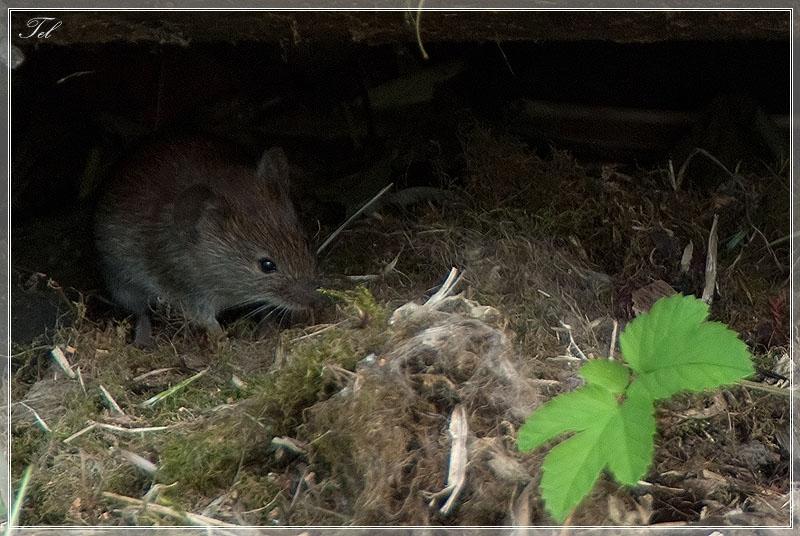 Мышка домашняя