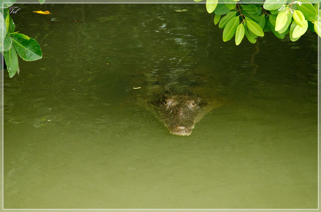 Еще крокодил