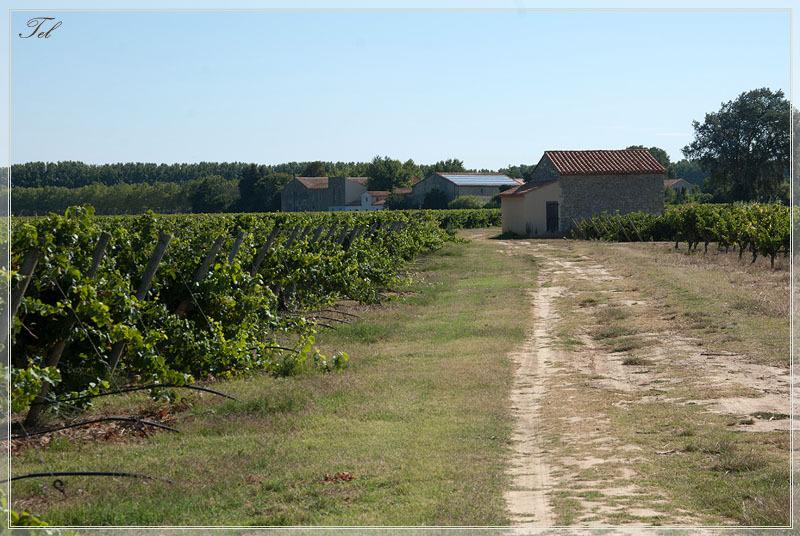 Виноградные тропинки