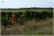 В виноградниках 2