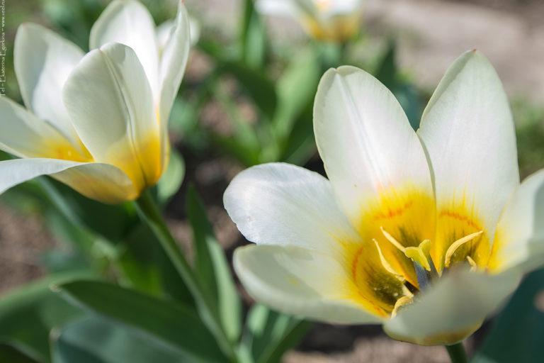 Фото: тюльпаны