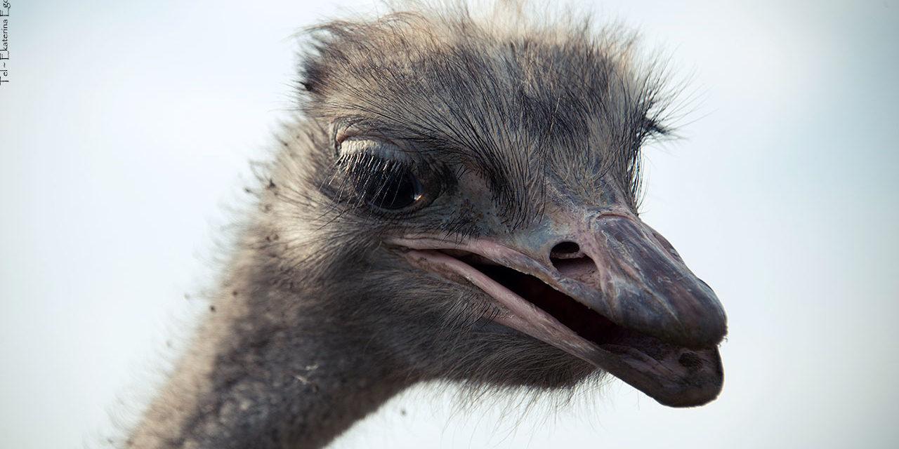 Осторожно, страусы!