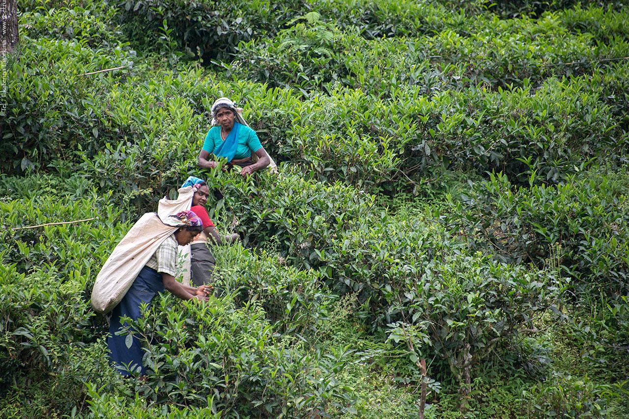Там, где растёт чай