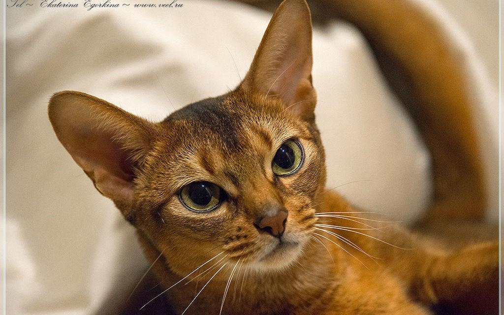 Абиссинский кот по имени Умка
